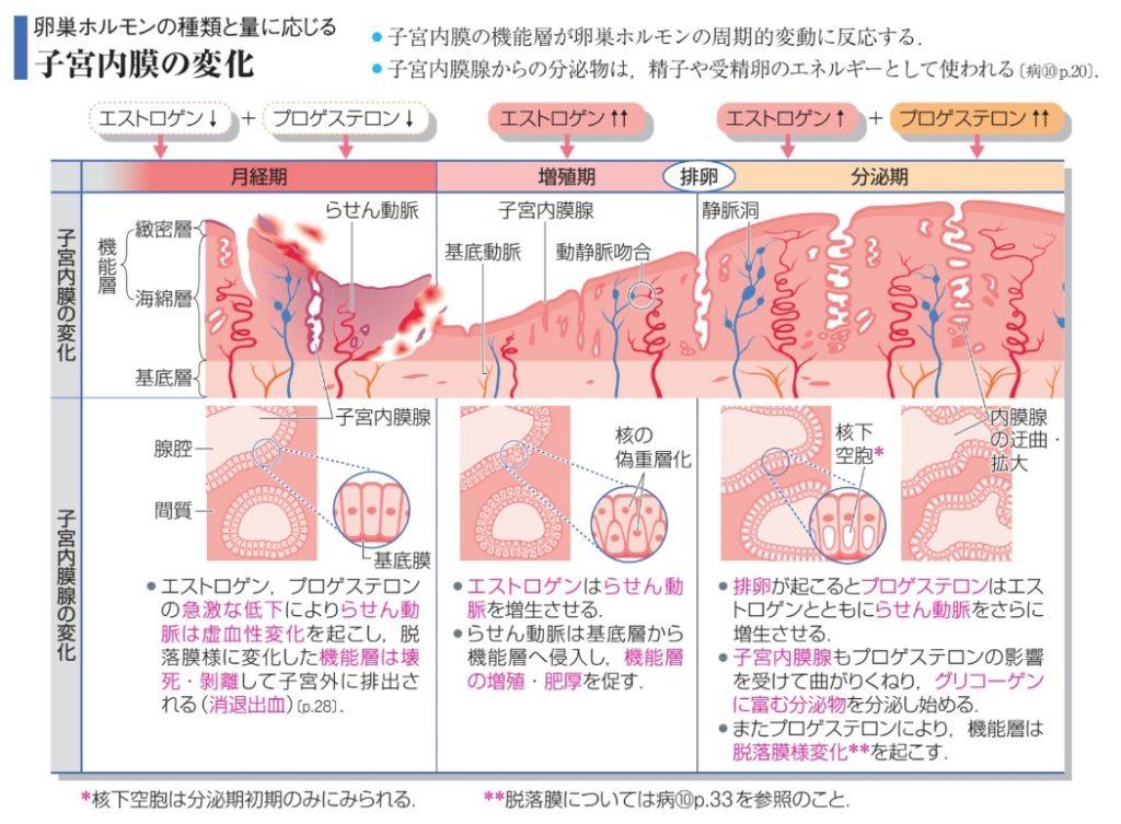 子宮内膜機能層基底層(相模原タナココ漢方薬局鍼灸接骨院)