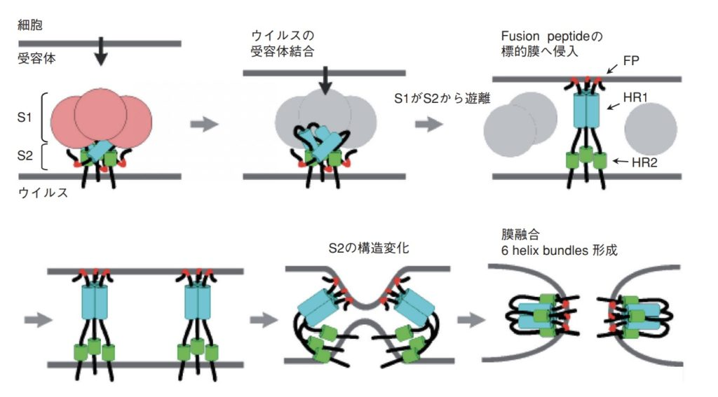 コロナウイルス細胞侵入の分子機構