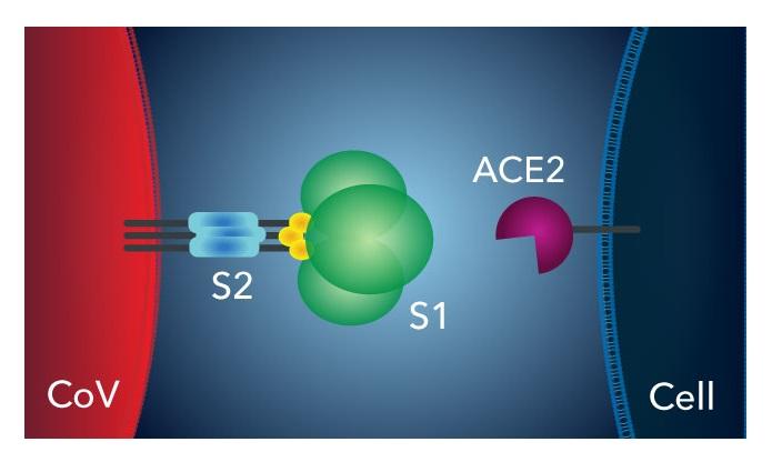 新型コロナウイルス,ACE2,S1,S2