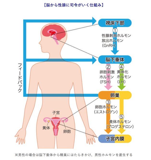 性ホルモン<相模原 漢方 鍼灸 接骨 タナココ>